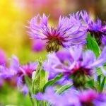 Fleur de Bach : Centaury