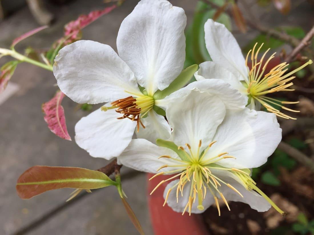 Fleur de Bach : Cherry Plum