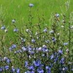 Fleur de Bach : Chicory