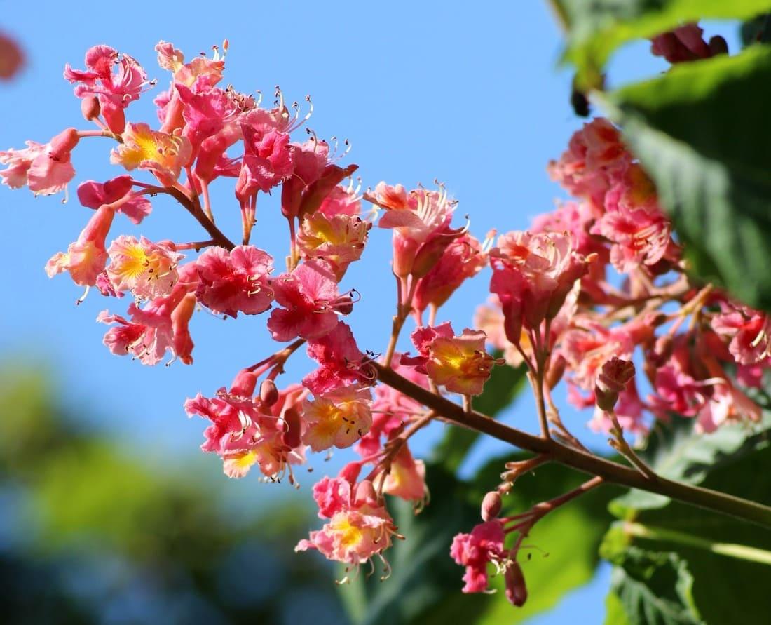 Fleur de Bach : Red Chesnut